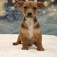 Hagerstown Maryland Dachshund Meet Stella A For Adoption