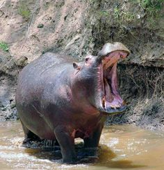 """Yawning Hippo (by masaiwarrior)...""""I'm in the bath!!!!! What do you want?????"""" lol"""