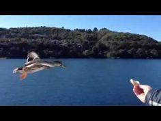 Go Mr Duck, Go!!  On Lake Taupo, New Zealand