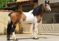Mangalarga Marchador. A gaited horse of central eastern Brazil developed from Iberian Lusitanos crossed with eastern Barbs.