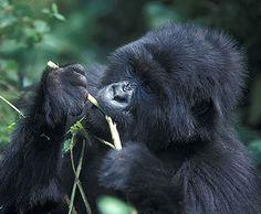 Gorillas in Bwindi Impenetrable Forest, Uganda