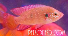 Red Jewel Cichlid, $7.99 (http://www.petzonesd.com/red-jewel-cichlid/)