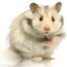 pets | Hamsters make ideal pets for young and old alike and are an ideal pet ...