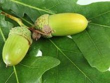 Seed 100 unids una gran cantidad de la semilla del árbol de roble con 30 unids árbol de júpiter como regalo(China (Mainland))