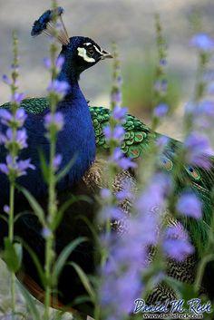 Indian peafowl or Blue peafowl (Pavo cristatus) Peacock And Peahen, Peacock Bird, Indian Peacock, Indian Blue, Peacock Colors, Beautiful Creatures, Animals Beautiful, Cute Animals, Most Beautiful Birds