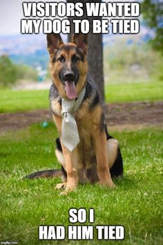 """Check out our web site for additional relevant information on """"german shepherd dogs"""". It is actually a superb location to learn more. Female German Shepherd, German Shepherd Memes, German Shepherd Pictures, German Shepherd Puppies, German Shepherds, Funny Animal Memes, Dog Memes, Funny Animal Pictures, Funny Animals"""