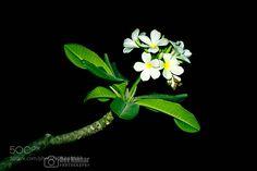 White Flower by devkshre