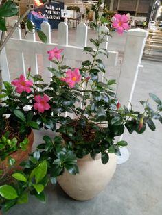 Tuscan pot plants - mandevilla (pink)