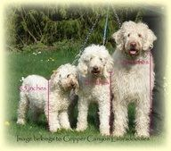 Labradoodle sizes: Mini, Medium, Standard (I have a toy labradoodle which is smaller than a mini)