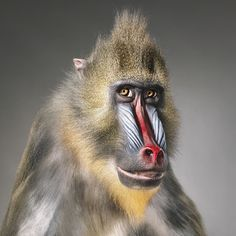 Mandrill colours