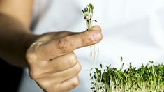 Welcome to the world of microgreens — miniature plants, herbs, or vegetables that are comparable to sprouts, but unlike sprouts, use soil and sunlight to grow. Microgreens can be grown anywh Lemon Benefits, Coconut Health Benefits, Growing Microgreens, Growing Vegetables, Growing Sprouts, Broccoli Sprouts, Radish Sprouts, Stomach Ulcers, Types Of Tea