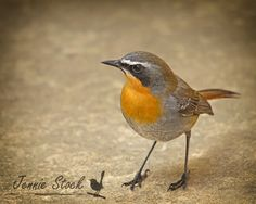 One of my favourite African birds - Cape robin-chat. This particular bird is quite tame at my parents' home and will even hop inside in a quest for treats.