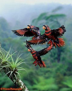 Dusky lorikeets, Papua New Guinea & Indonesia