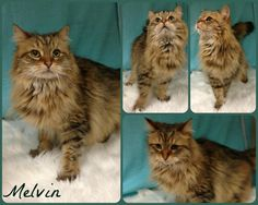 Meet Melvin, a Petfinder adoptable Domestic Long Hair Cat | Joliet, IL | Melvin is a handsome 5 year old Domestic Longhair cat available for adoption.Melvin was surrendered...