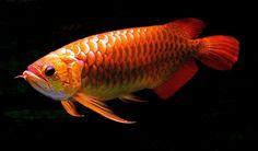 Gambar Ikan Arwana - Red Arowana