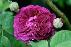 'Kirstin Schade' Rose Photo