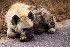 Lonely Hyena Pup