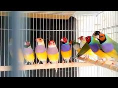 Gouldian Finches - YouTube