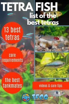 List of the Best Tetra Fish Types. We'll take a look at the 13 best Tetra Fish Types to help you choose the right one. Appearance, Care Requirements, Breeding and Tank Mates. Aquarium Set, Aquarium Ideas, Aquarium Fish Tank, Tropical Freshwater Fish, Freshwater Aquarium Fish, Tropical Fish, Fish Tank Sizes, Neon Tetra Fish, 10 Gallon Fish Tank