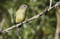 Planalto Tyrannulet (Piolhinho) | Scientific name: Phyllomyi… | Flickr
