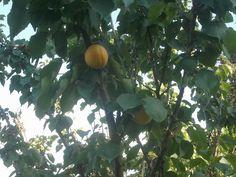 Big apricots.