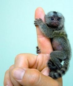 Pygmy Monkey...omg. I want one.