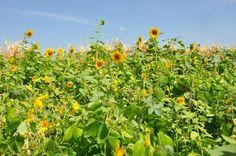 Fernanda Birolo - Coqueteis vegetais são utilizados como adubo verde (green manure mix)