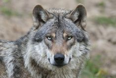 Europese wolf (Canis lupus)