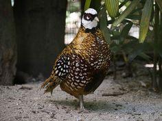 Reeves's Pheasant (m)