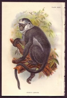 1800's Original ANTIQUE Old VINTAGE Hose's Langur Monkey Art PRINT #Realism