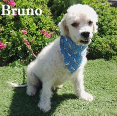 Meet Bruno, a Petfinder adoptable Poodle Dog | San Diego, CA | Bruno is 2-3 years old and weighs 20 lbs. He is good with other dogs, good with children and cats...