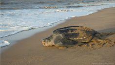 Poids, taille de la plus grande tortue luth : 1, 92 mètre pour 900 kg. Massif n'est-ce-pas ? Si en moyenne elle pèse plutôt 400 kg pour 1,60 mètre, on comprend pourquoi elle passe sa vie dans les profondeurs marines, sans doute doit-elle se sentir plus légère. Cependant elle est obligée de regagner la terre ferme plusieurs fois par an pour cacher ses œufs. La plage des Hattes en Guyane est l'un des lieux de ponte le plus réputé des tortues luth,