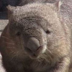 Have been on the hunt for a Wombat in the wild since we have been on the road. Finally got to see one @ Taronga Zoo. Then got to pat one at Australia Zoo! Wombat Pictures, Happy Animals, Cute Animals, Common Wombat, Animals Of The World, Brown Bear, Sloth, Animals Beautiful, Koalas
