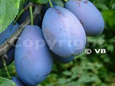 STANLEY Eggplant, Vegetables, Eggplants, Vegetable Recipes, Veggies