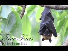 *True Facts About The Fruit Bat by Ze Frank - http://www.youtube.com/watch?v=j_SjhcdF_J4=player_embedded