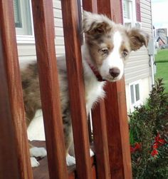Cody the Australian Shepherd-Cuteness OD!!!