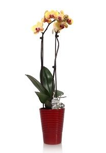 Don't Be Timid to Care for a Phalaenopsis Orchid, Part 1 Of 2