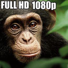 Chimpanzee Full Movie    Full Documentary 2014    BBC documentary 2014 (...
