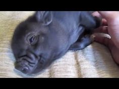 Micro Pig Compilation to make you go Awww - YouTube
