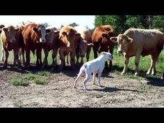Boxer Dog Meets Cows And His Reaction Is 'Udderly' Hilarious! - http://www.rescuedognews.com/boxer-dog-meets-cows-and-his-reaction-is-udderly-hilarious/