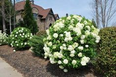 snowball viburnum hedge | Home :: Shrubs and Hedges :: Viburnum Shrubs :: Snowball Viburnum Bush