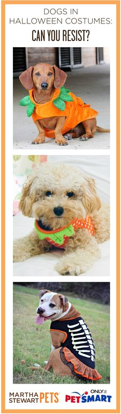 #Dogs in #Halloween #Costumes  - Can You Resist? Shop the full #marthastewartpets line at #PetSmart!