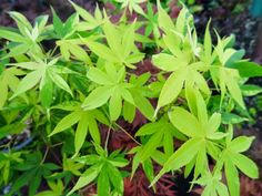 Acer palmatum ' Kagero ' Japanese Maple Tree - Kigi Nursery