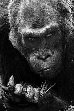 #SilverBack #Gorilla