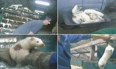 Horrific reality of Polish mink farms revealed in harrowing video #DailyMail