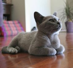 Discover The Russian Blue Cats - Cat's Nine Lives Grey Kitten, Grey Cats, Blue Cats, Cute Kittens, Cats And Kittens, Siamese Cats, Burmese Kittens, Russian Blue, Tier Fotos