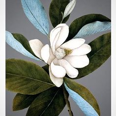 @mag.gieshep.herd  A magnolia from The Archivist's Gallery #magnolia #cream #perfume #aroma #leaves #illustration #painting #petals #flower #floral #study #stilllife #delicate #ephemeral #beauty #wildflower #nature #natural #botany #botanical #light #eco #ecology #garden #bloom #elegant