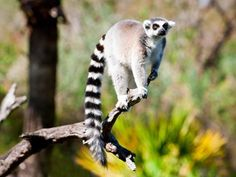 Know Our Stars: Lemurs | Busch Gardens Tampa