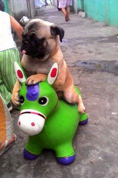 My baby Yuno's ride along! #itsapugslife