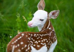 A rare white-faced fawn http://ift.tt/2vSI8fw